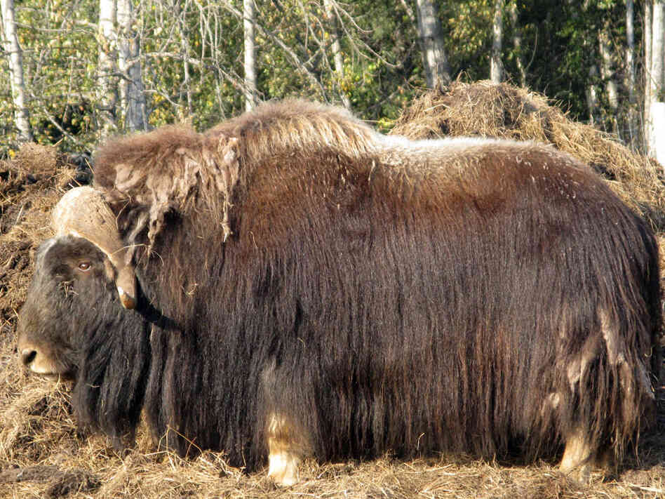 A male musk ox stands in a paddock at the Large Animal Research Station in Fairbanks, Alaska.