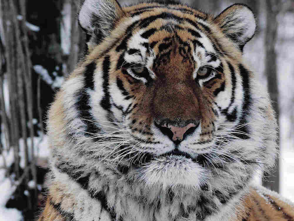 An Amur tiger sits in the snow at a wildlife rehabilitation center.