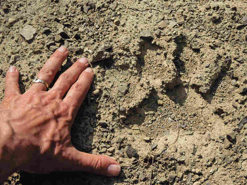 Author's hand with female tiger track