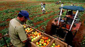A farmer collects tomatoes on a tractor on a farm in Guira de Melena, south of Havana, in 2008