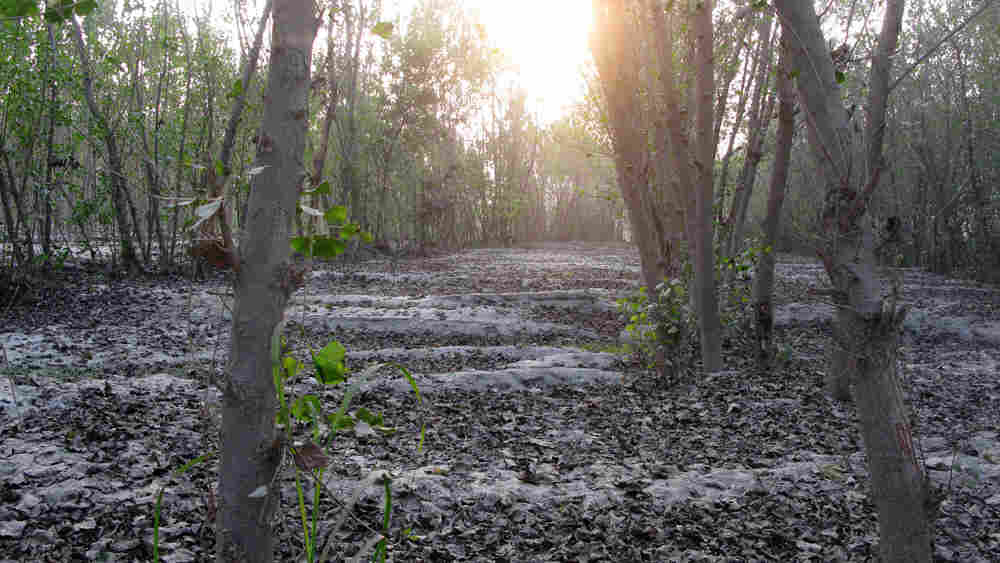 Floods that hit Pakistan in July left trees ravaged and fields coated with an ashen dust.