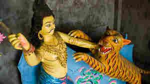 Endangered Tigers Still Dangerous In The Sundarbans