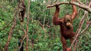 Orphan Orangutans at the Borneo Orangutan Survival Foundation