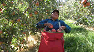 Maria Dominguez picks Gala apples in an orchard.