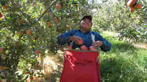 Farm Work: Americans Steer Clear Of Apple Harvest
