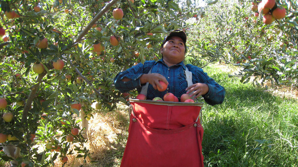 Maria Dominguez picks Gala apples in an orchard in Wapato, Wash., in 2007.