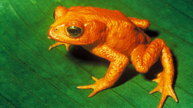A study finds that more than 800 species of vertebrates are moving closer to going the way of the golden toad.