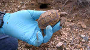 Biologists are relocating species such as this juvenile Mojave Desert tortoise.
