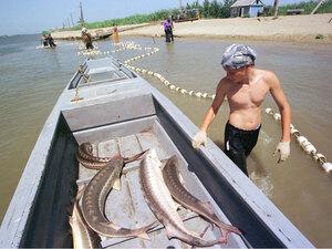 Fisherman near Astrakhan looks at sturgeon lying in a boat