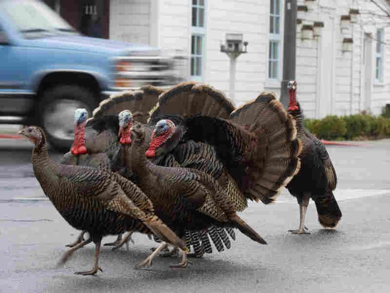 Wild turkeys cross a street in La Conner, Washington