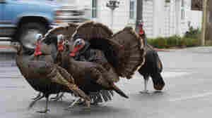 Wild turkeys cross a street in La Conner, Washington