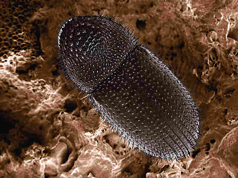 Coffee berry borer seen through a scanning electron microscope.