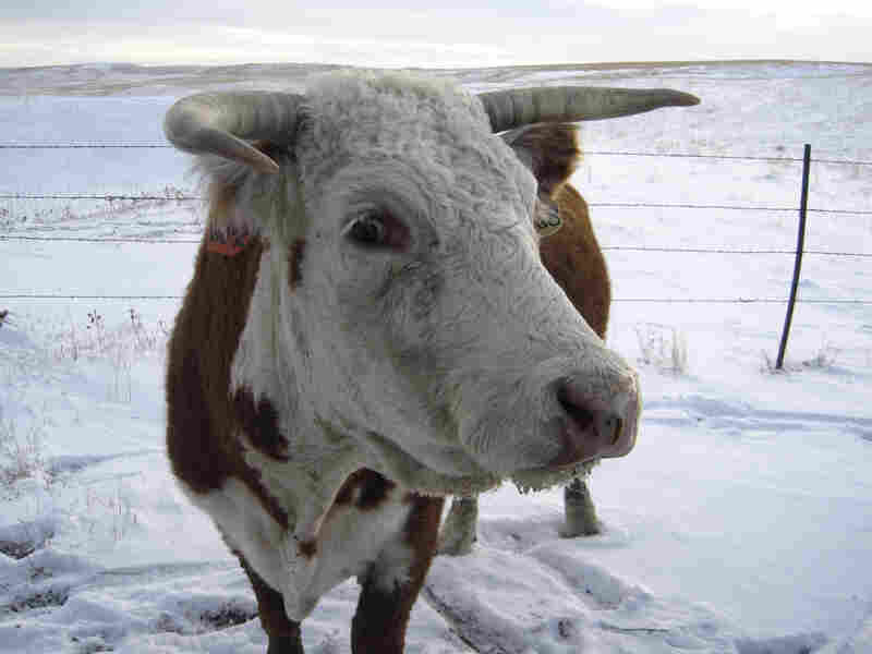 """A cow on the plains of  Larry Reinhold's """"Lone Tree Ranch""""  in South Dakota."""