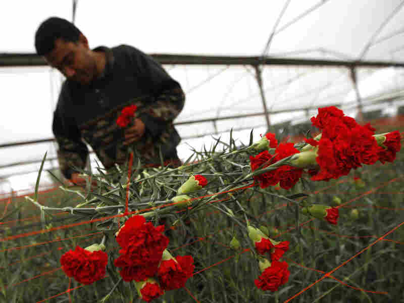 A Palestinian farmer gathers flowers for export in his Rafah greenhouse.