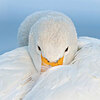 A white whooper swan in repose