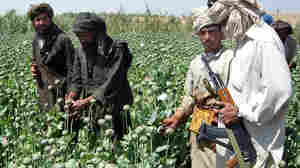 A Taliban militant (right) observes farmers gathering poppy resin in Afghanistan's Helmand province