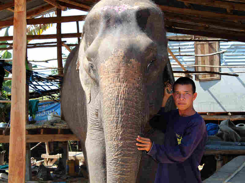 Mahout Theerapon Homhuan stands with one of his four elephants in Ta Klang village