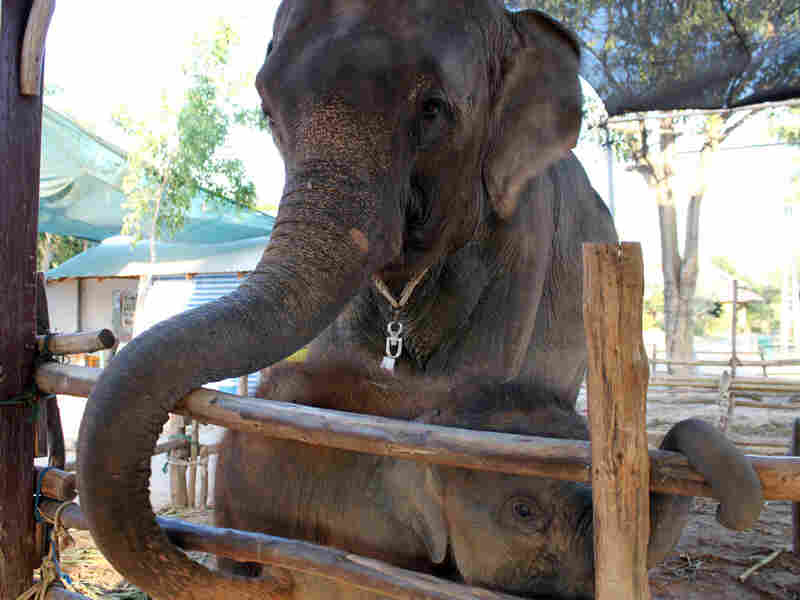 A mother elephant takes care of one of a pair of twin baby elephants in Ta Klang village