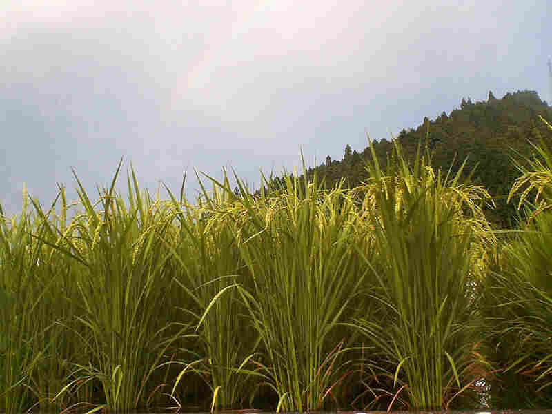 A new disease-resistant strain of rice thrives in a Japanese field.