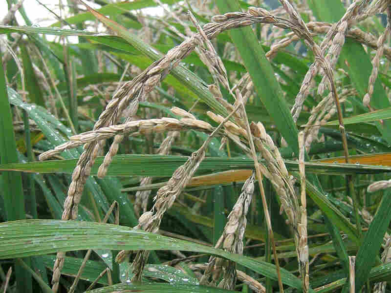 Blast disease can devastate whole crops of rice.  This new strain ensures a sustainable food supply.
