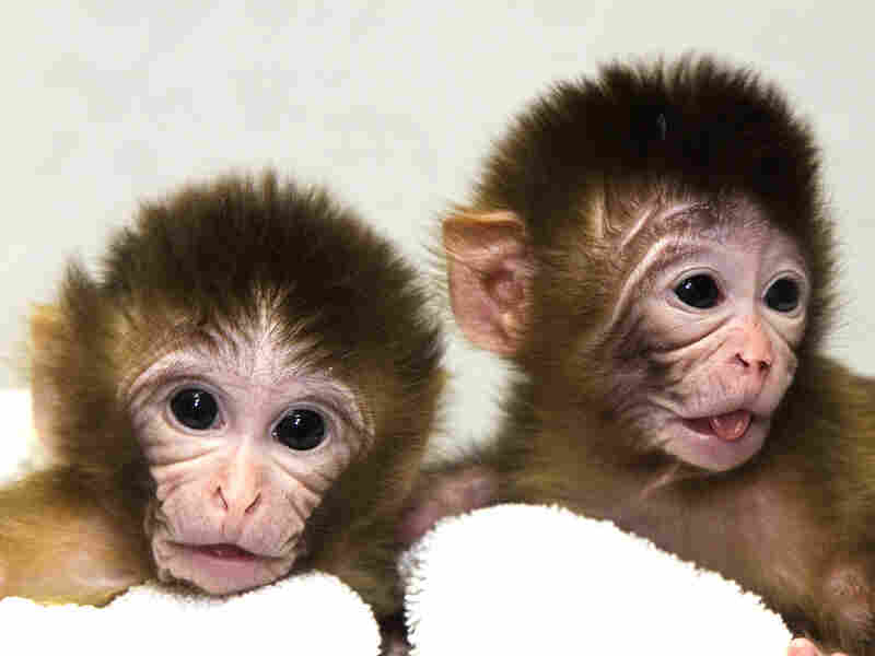 Newborn monkeys, Mito and Tracker, developed from embryos with transplanted DNA.