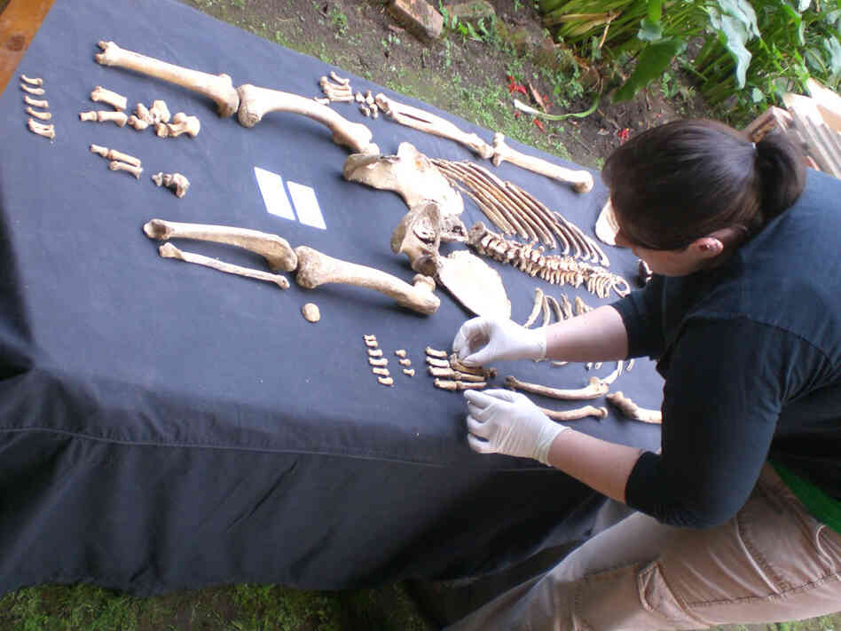 A researcher arranges bones of a mountain gorilla skeleton.