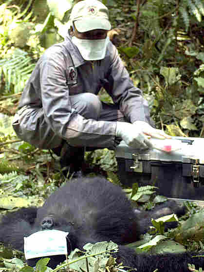 A vet treats a gorilla for life threatening injuries.