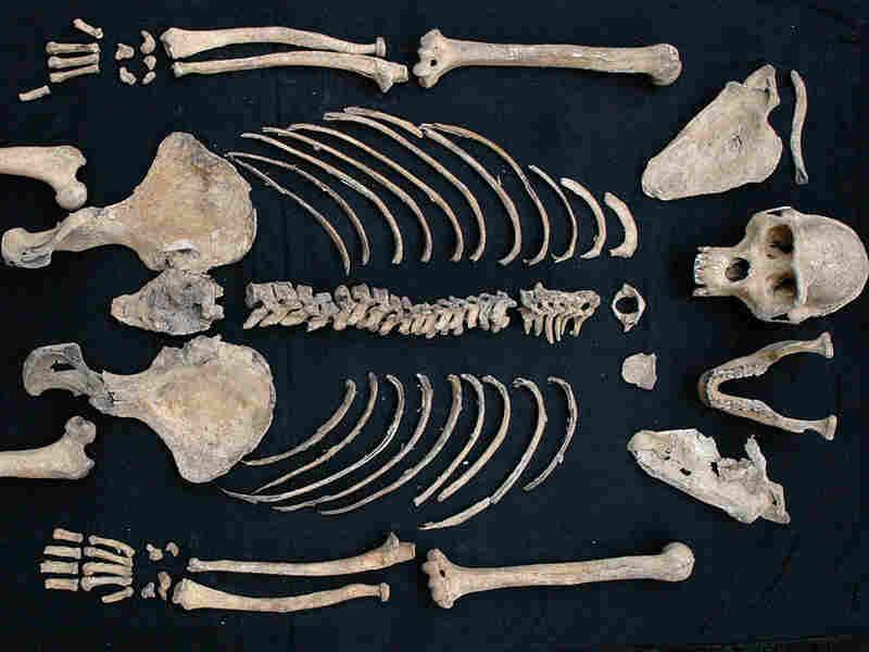 A female mountain gorilla skeleton.