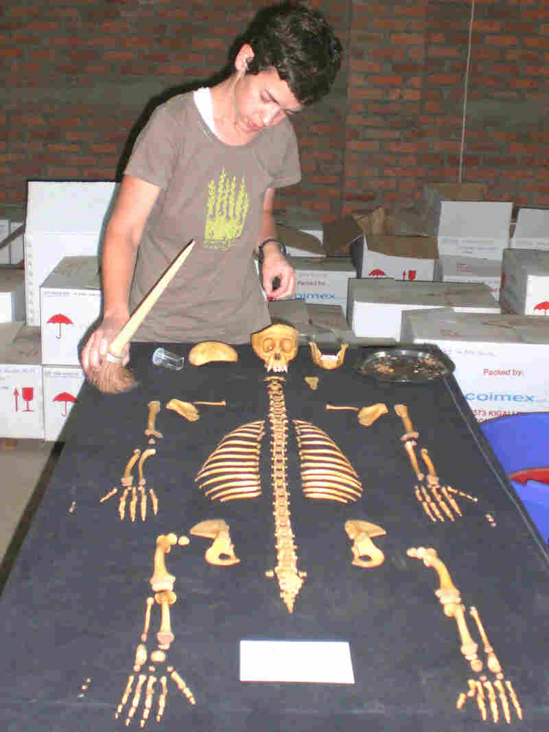 Anthropologist Shannon McFarlin inspects one of the gorilla skeletons she will study.