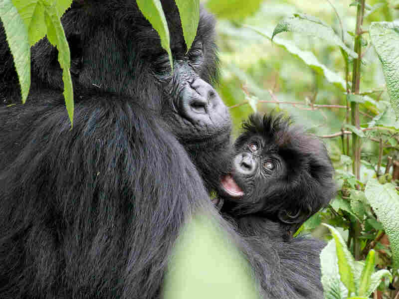 A mother mountain gorilla holds her infant close in their Rwandan forest home.