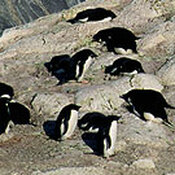 Nesting Adelie penguin colony at Cape Royds