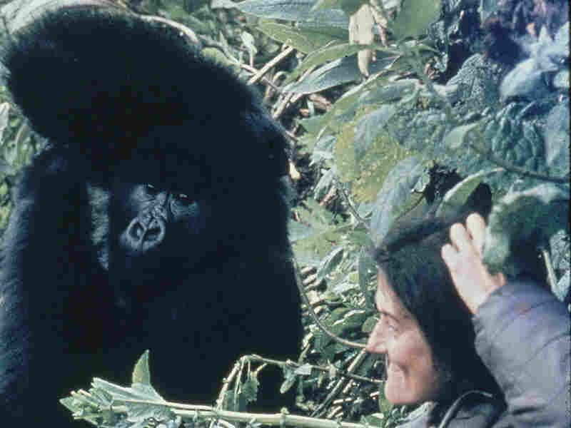 Dian Fossey imitates a moutain gorilla in the field.