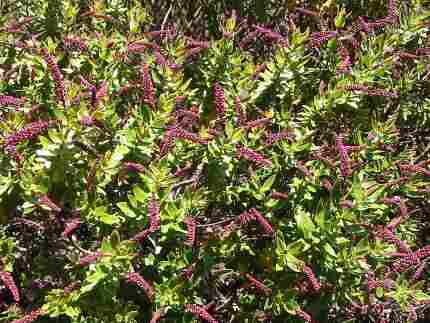Introducing the genus Hebe, a New Zealand shrub that comes in tons of delicious foliage and