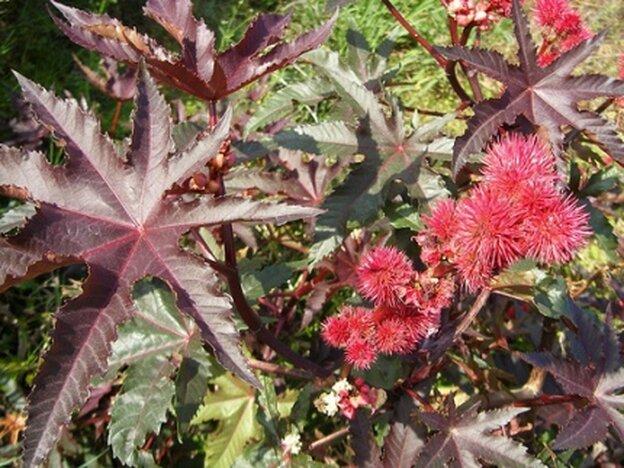 bold, burgundy castor bean plant foliage