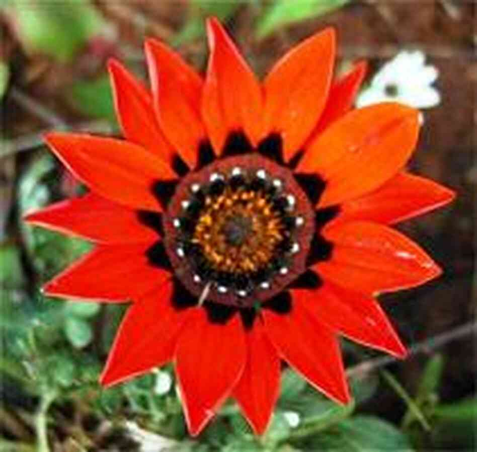 brilliant red gazania