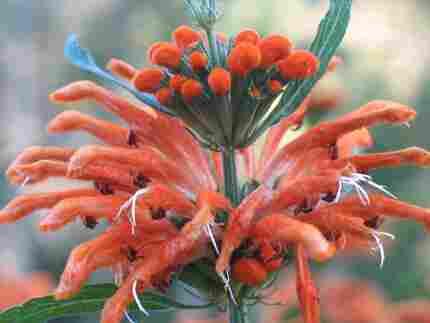 single flowerhead of Leonotis