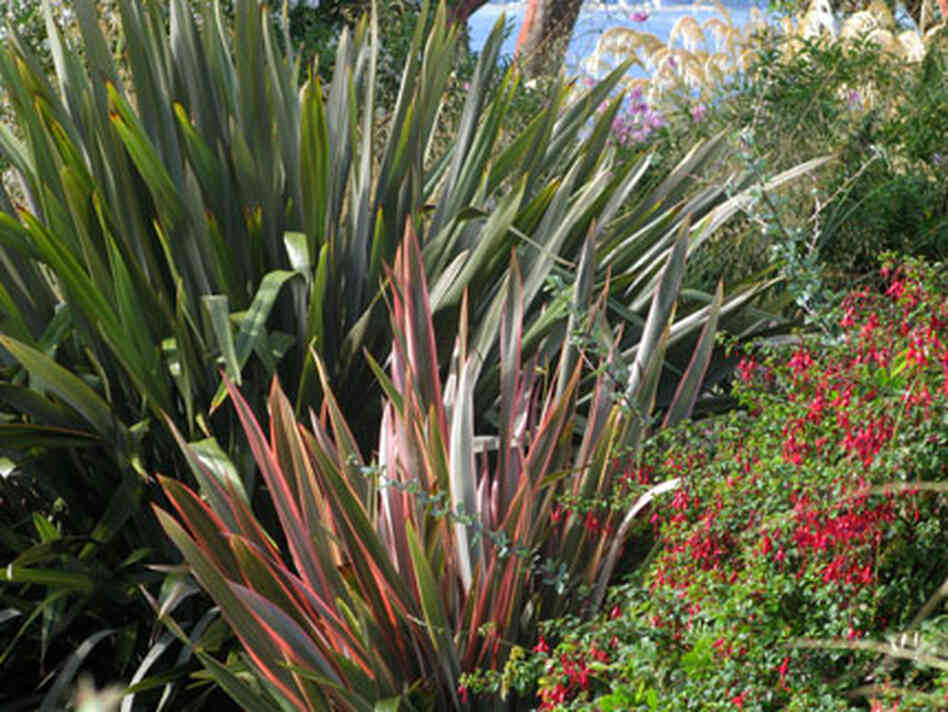 multi-colored blades of New Zealand flax