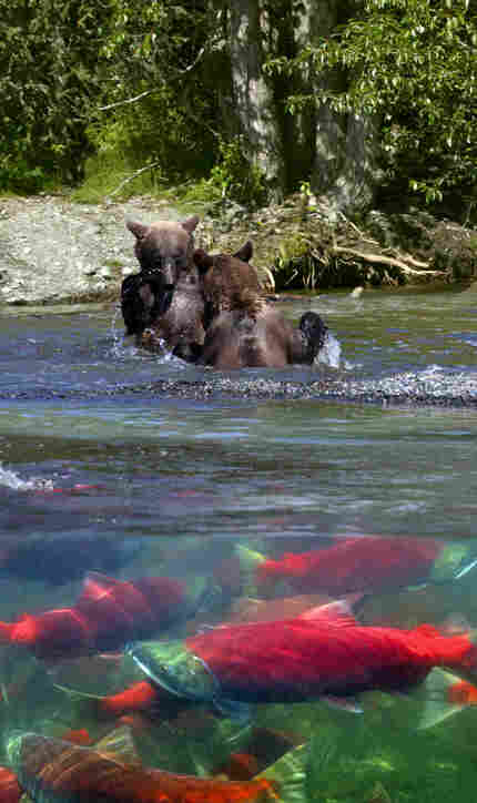 composite photo of bears and trout