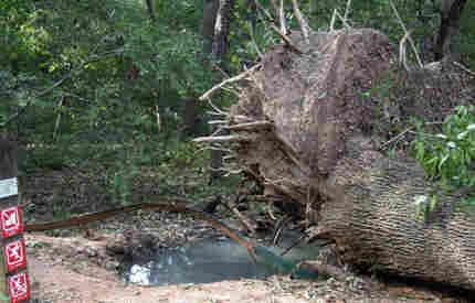 upended big oak