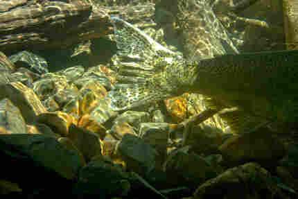 Chinook salmon tail