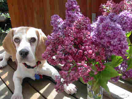 beagle with lilacs