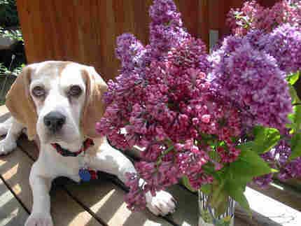 beagle with lilacs