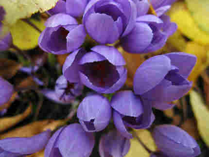 purple fall crocus