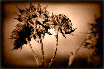 sepia dried flower head