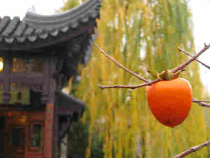bright orange persimmon hanging off tree
