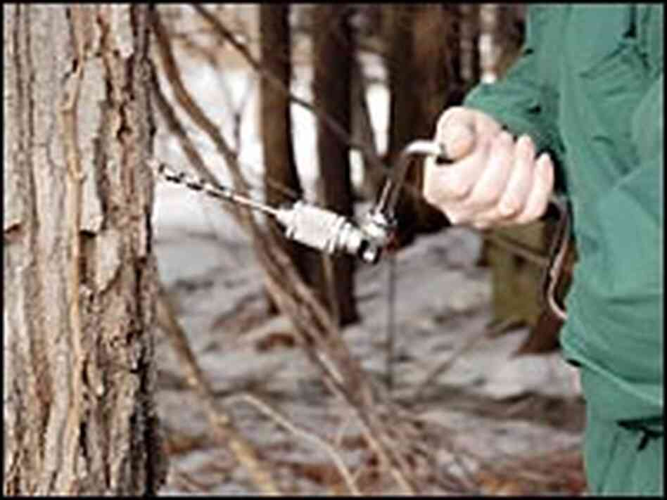 Hand-held drills are used to tap maple trees at the Drumlin sanctuary.