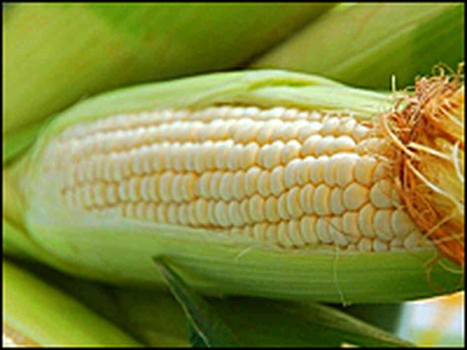 An ear of corn in its husk with a tuft of silk on the end