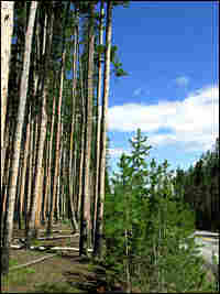 A lodgepole pine forest at Yellowstone National Park