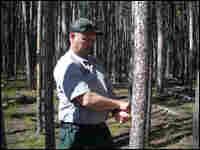 Roy Renkin measures a lodgepole pine