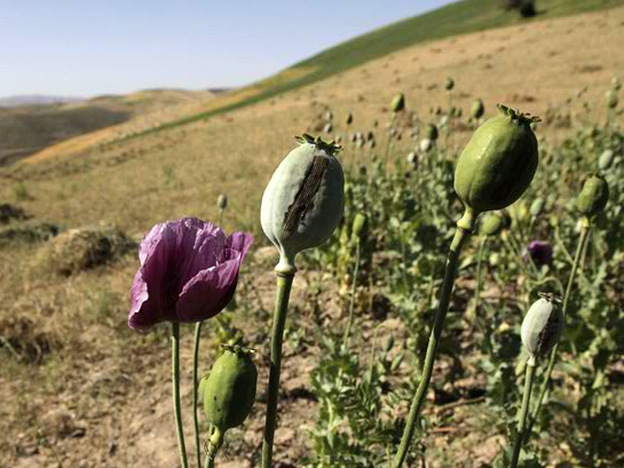 An illegal crop of poppies grow in July in the Badakhshan province of Afghanistan.